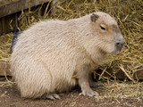 Cute capybara rodent against a straw background poster