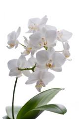 Weiße Orchidee mit Blättern