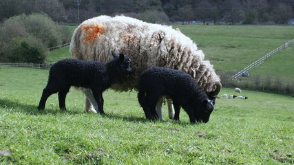 Black lambs with mother sheep