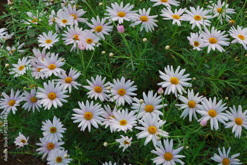 Beautiful White Daisys on a Park