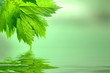 Lindgrünes Laub