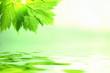 Lindgrünes Blatt