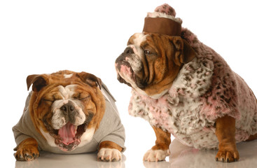 bulldog bullying - bulldog laughing at another in fur coat