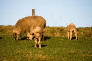 Schaf kratzt sich