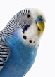 Talking blue wavy parrot. The Portrait.
