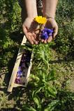 Raccolta dei fiori commestibili