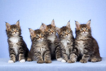 5 Cute Mine Coon kittens sitting in a row on blue background