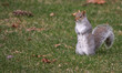 Gray squirrel standing and watching