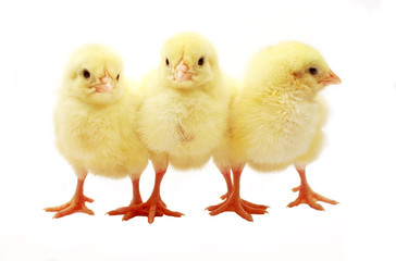 Three Baby Chicks Isolated