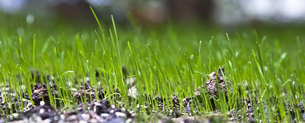 herbe de printemps