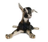 Young Goat (3weeks old) - Fine Art prints