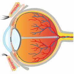Eye anatomy - Cross section view
