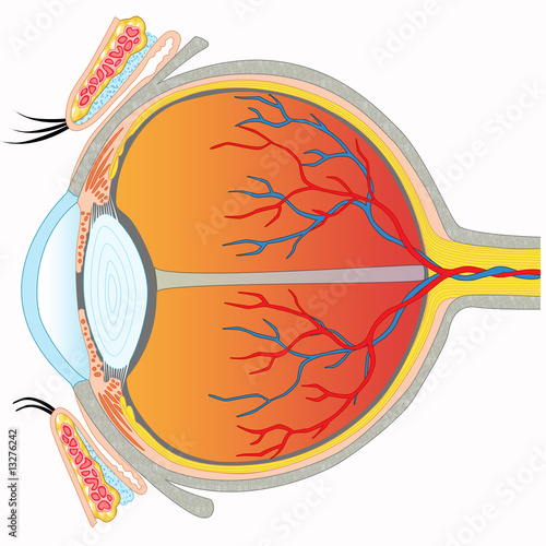 Eye anatomy - Cross section view