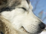 sieste canine poster