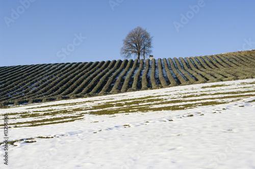 campo di lavanda in inverno