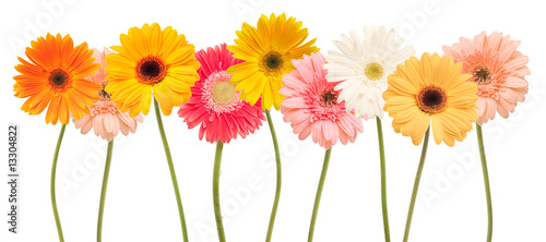 Poster Gerbera colorful daisy flowers