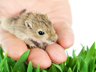 small gerbil on a hand
