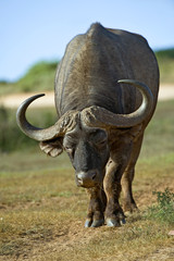 A brave Buffalo Bull approaches fearlessly