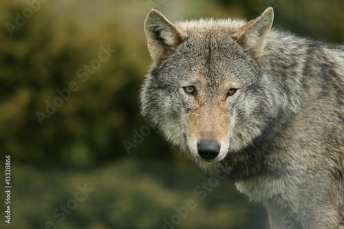 Fototapeta zwierzę - istota - Dziki Ssak