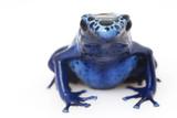 Blue Poison Arrow Frog (Dendrobates azureus) poster