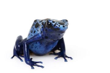 Blue Poison Arrow Frog (Dendrobates azureus)