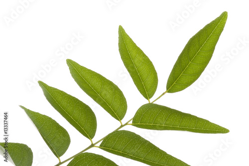 Curry Leaves Isolated