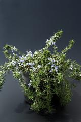 Haengender Rosmarin, Rosmarinus lavandulaceus