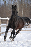 beautiful black stallion runs on the snow poster