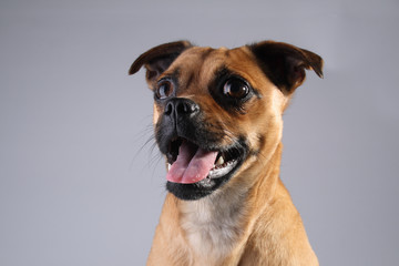 Head shot of small brown dog, Jack Russell and Pug Mix