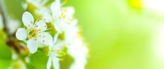 image de fleur au printemps - fleurs blanches et fond vert