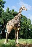 Full length body picture of a giraffe with trees poster