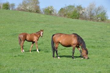 Poulain et cheval