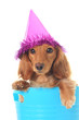 Birthday dachshund