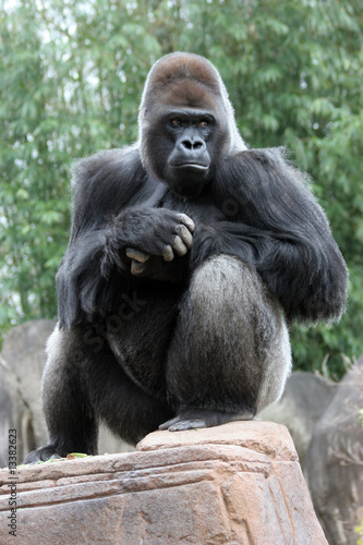 Poster Aap Silverback Gorilla