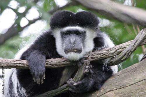 Poster Lazy Colobus Monkey