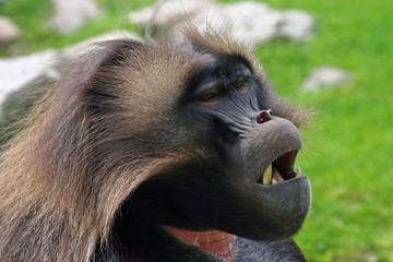 Tired Baboon