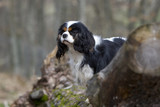 cavalier king charles en train de guetter