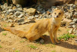Fuchsmanguste - Yellow Mongoose 06