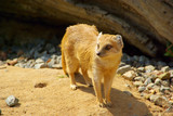 Fuchsmanguste - Yellow Mongoose 07
