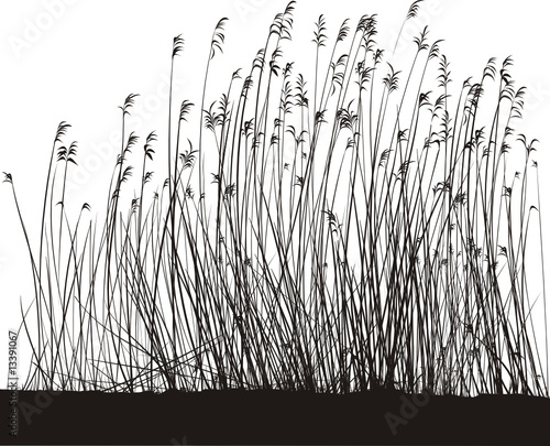 Reeds On White Background, Isolated vector - 13391067