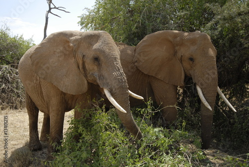 Fototapeta African Bush Elephant (Loxodonta africana) at Samburu park