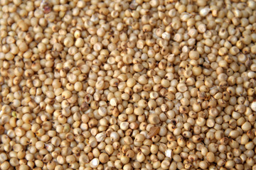 Small yellowish tropical cereal grass of the genus sorghum