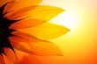 Sunflower at sunset, closeup.