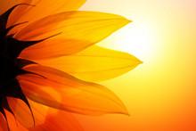 """Постер, картина, фотообои """"Sunflower at sunset, closeup."""""""
