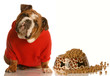 bulldog in red sweater sitting beside bowl of dog food