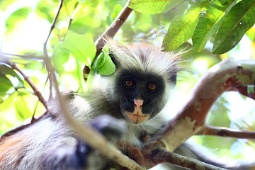 Zanzibar Collobus Monkey