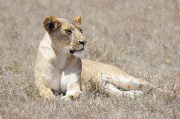 Lioness (Panthera leo), Samburu park, Kenya