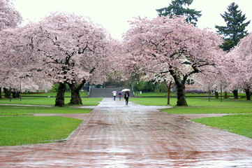 cherry blossom in campus