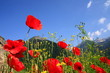 Horizont, himmelblau, Mohnwiese, Seealpen, Piemont, Italien