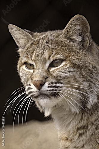 Bliska, Portret Lynx